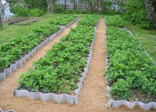 Садовая земляника в высоких грядках